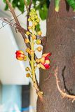 Красивый макрос снял цветка от необыкновенного guianensis Couroupita дерева пушечного ядра Стоковое Изображение RF