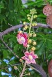 Красивый макрос снял цветка от необыкновенного guianensis Couroupita дерева пушечного ядра Стоковое фото RF