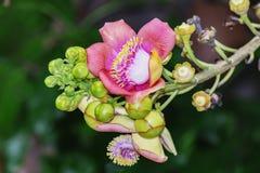 Красивый макрос снял цветка от необыкновенного guianensis Couroupita дерева пушечного ядра Стоковое Изображение