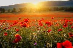 Красивый мак изображения fields в заходе солнца лета Италии стоковое изображение