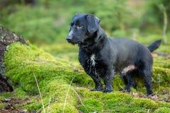 Красивый маленький портрет черной собаки в лесе осени стоя на мхе Стоковое Фото