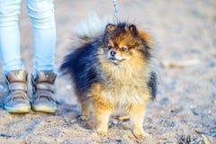 Красивый маленький шпиц щенка стоит на предпосылке песка и пляжа рядом с ногами его хозяйки, ногами небольшими смешное smili стоковые фото