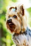 Красивый маленький декоративный йоркширский терьер собаки Стоковое Изображение