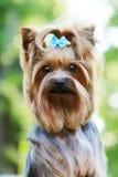 Красивый маленький декоративный йоркширский терьер собаки Стоковые Фото