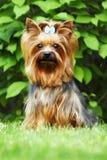 Красивый маленький декоративный йоркширский терьер собаки Стоковая Фотография