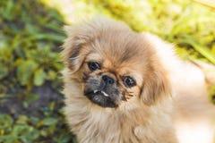 Красивый маленький щенок Pekingese Стоковое Изображение