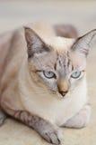 Красивый местный кот в Таиланде Стоковое Изображение