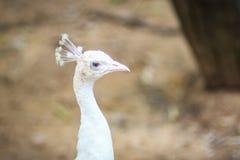 Красивый молодой белый павлин Белый молодой мужской павлин альбиноса Стоковые Фото