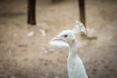 Красивый молодой белый павлин Белый молодой мужской павлин альбиноса Стоковая Фотография