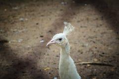 Красивый молодой белый павлин Белый молодой мужской павлин альбиноса Стоковое фото RF