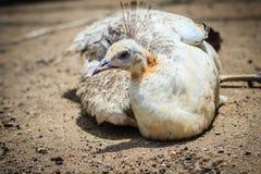 Красивый молодой белый павлин Белый молодой мужской павлин альбиноса Стоковые Фотографии RF