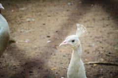Красивый молодой белый павлин Белый молодой мужской павлин альбиноса Стоковые Изображения
