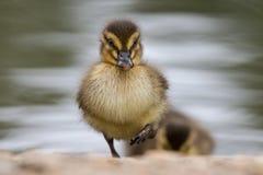 Красивый молодой милый утенок Portr platyrhynchos anas кряквы Стоковое Изображение