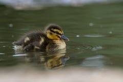 Красивый молодой милый утенок Portr platyrhynchos anas кряквы Стоковая Фотография RF