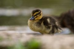 Красивый молодой милый утенок Portr platyrhynchos anas кряквы Стоковое фото RF
