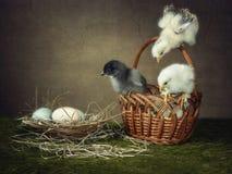 Красивый молодой цыпленок 3 вычисляя вне отношение Стоковые Изображения