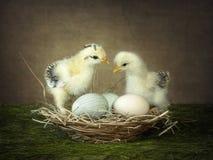 Красивый молодой цыпленок 2 вычисляя вне отношение Стоковая Фотография RF