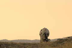 Красивый момент здоровой коровы есть траву и сено вне в стране Стоковое фото RF