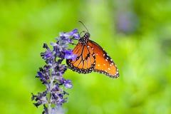 Красивый монарх на цветке пустыни стоковые изображения rf