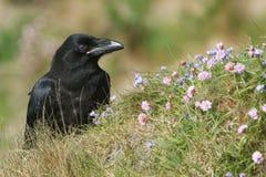 Красивый молодой Corvus ворона corax садилось на насест на clifftop на оркнейских островах, Шотландии окружил wildflowers стоковое изображение