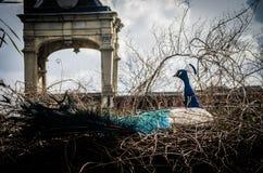 Красивый мужской павлин показывая свое колесо Стоковое Фото