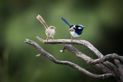 Красивый мужчина и женские превосходные fairy крапивниковые Стоковые Фото