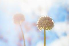 Красивый мягкий цветок фокуса с предпосылкой солнечного света утра , w Стоковое фото RF