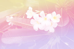 Красивый мягкий цвет розовый и синь цветут природа предпосылок - Plumeria Стоковое Изображение RF