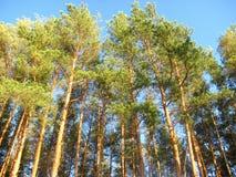 Красивый надземный взгляд пушистых зеленых сосен вверх Стоковые Фото