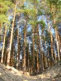 Красивый надземный взгляд пушистых зеленых сосен вверх Стоковые Изображения RF