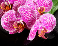 Красивый натюрморт курорта зацветая хворостины обнажал фиолетовую орхидею Стоковые Изображения
