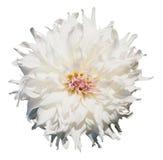 Красивый нежный белый георгин Стоковые Фотографии RF