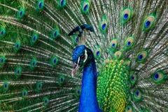 Красивый одичалый павлин показывая ему перо Стоковое фото RF