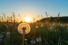 Красивый одуванчик в поле на заходе солнца Стоковые Фото