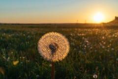 Красивый одуванчик в поле на заходе солнца Стоковая Фотография RF
