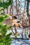 Красивый олень самца оленя осла с огромными взглядами украдкой шкафа вне от сосен и дубов стоковое изображение