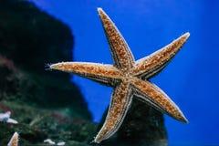 Красивый оранжевый конец-вверх морских звёзд в аквариуме стоковое фото rf