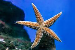 Красивый оранжевый конец-вверх морских звёзд в аквариуме стоковые фотографии rf