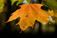 Красивый оранжевый крупный план кленового листа падения с blured предпосылкой стоковые изображения rf