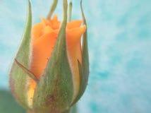 Красивый оранжевый фронт бутона стоковое изображение rf