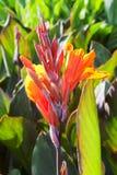 Красивый оранжевый цветок зацветая поднимающего вверх canna близкое Стоковые Изображения