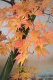 Красивый оранжевый цвет кленовых листов в осени Стоковое фото RF