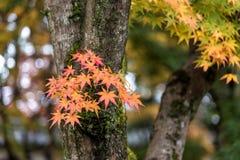 Красивый оранжевый цвет кленовых листов в осени стоковые изображения