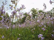 Красивый осветите - пурпурные цветки giganteum Murdannia зацветая в полях в провинции Prachinburi, Таиланде Селективный фокус стоковые фото