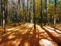 Красивый осенний лес бука Стоковые Фотографии RF