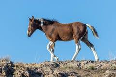 Красивый осленок дикой лошади в Юте Стоковое Фото