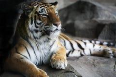 красивый отдыхая тигр Стоковое Изображение RF