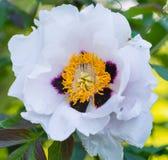 Красивый открытый конец бутона цветка пиона вверх Стоковые Изображения RF