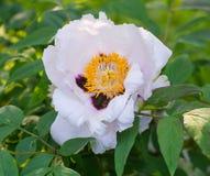 Красивый открытый конец бутона цветка пиона вверх Стоковые Фотографии RF