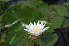 Красивый лотос в пруде Стоковые Фото